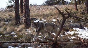 WA wolf Stuart Hurd photo